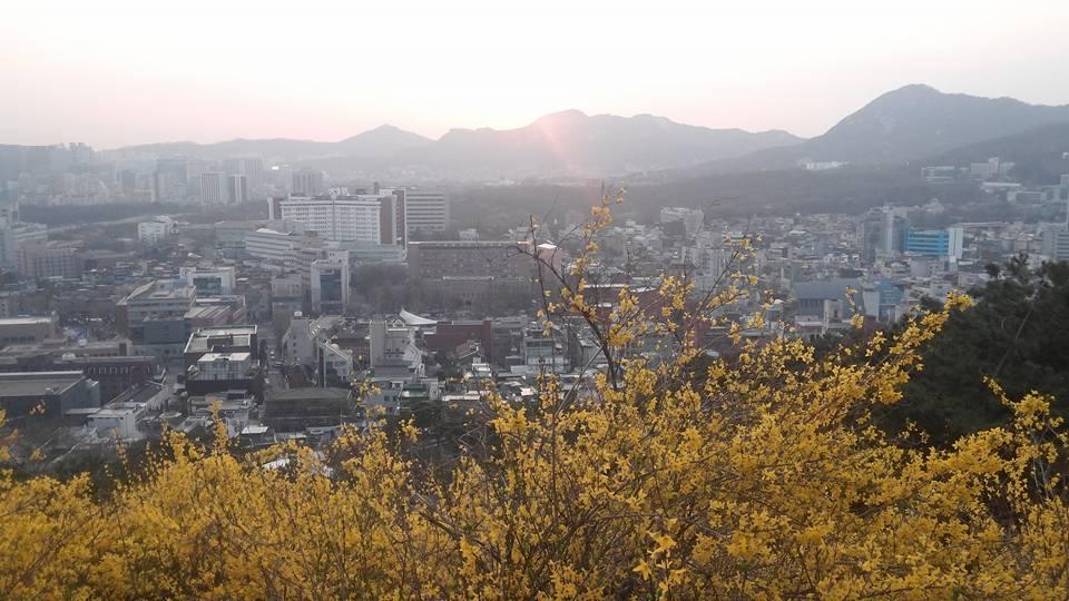 서울성곽s낙산에서봄꽃개나리꽃.jpg